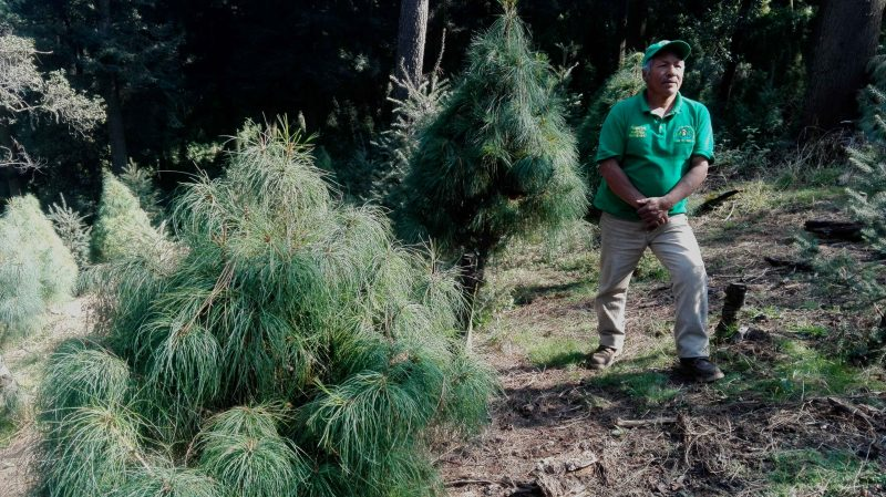 Así nacen los árboles de navidad del Ajusco